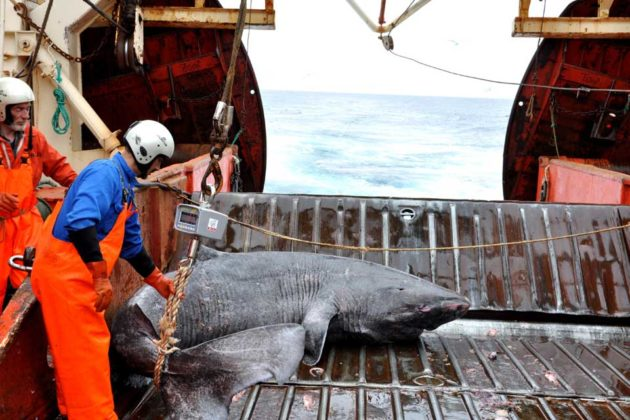 Greenland Shark Can Live Up To 512 Years