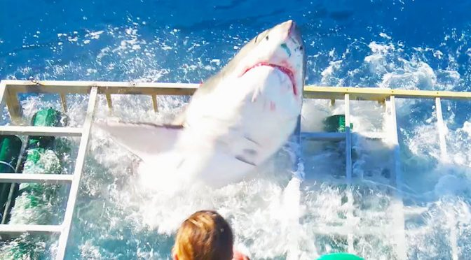Diver Had A Close Call When A Great White Breaches Shark Cage He Was In