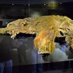 Thanks To A Frozen Ancient Carcass, Mammoth Could Walk The Earth Again