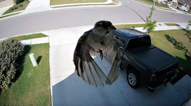 When Camera Frame Rate Syncs With A Bird's Flapping, Weird Thing Happens