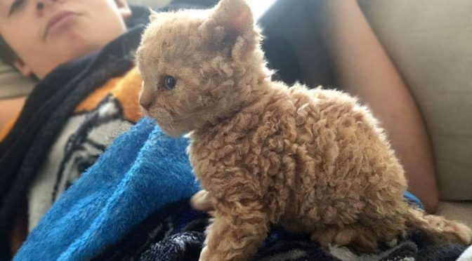 Curly Hair Orange Kitten Selkirk Rex Kitten Is Super Cute