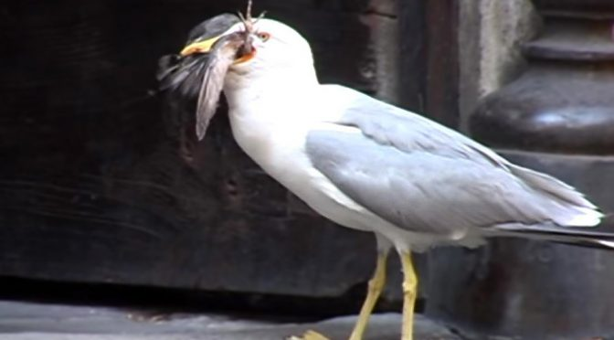 Seagull Swallowed a Pigeon Whole in Rome Back In 2012
