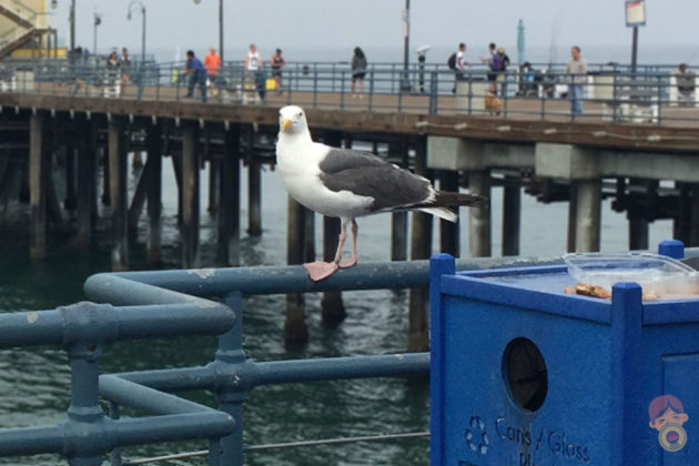 Seagull at The Pier, Santa Monica, California by Mike-2017