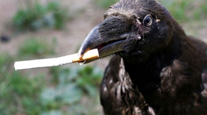 Crowded Cities Train Crows To Pick Up Cigarette Butts