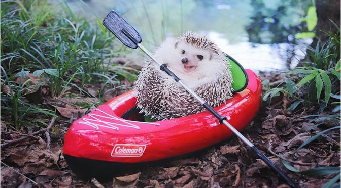 Images Of Tiny Hedgehog Camping Are Sure To Make You Go Awww…
