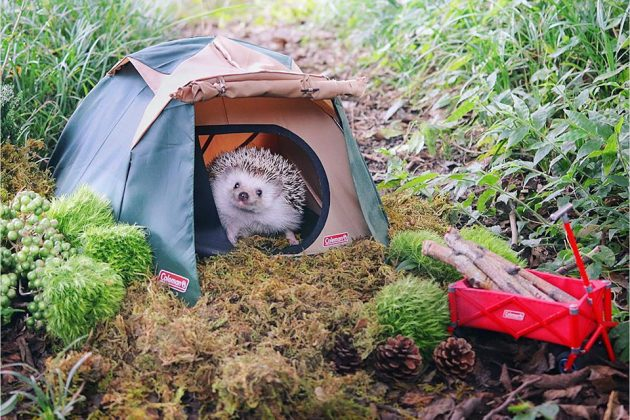 Tiny Hedgehog Goes Camping Will Capture Your Heart