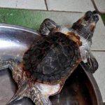 Turtle That Outgrew Its Shell Looks Like <em>Teenage Mutant Ninja Turtle</em>