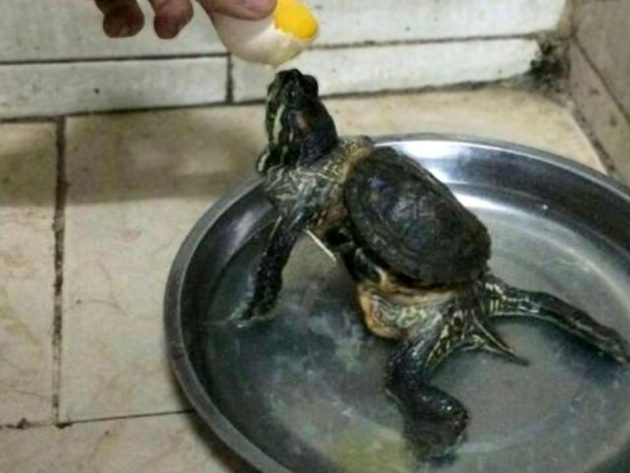 Turtle That Outgrew Its Shell Looks Like Ninja Turtle