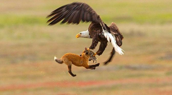 Wildlife Photographer Captured An Eagle Tussle With A Fox Over A Rabbit