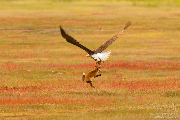 Bald Eagle Battles Fox Over A Rabbit