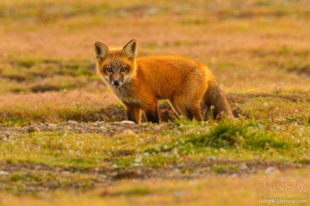 Bald Eagle Battles Fox Over A Rabbit