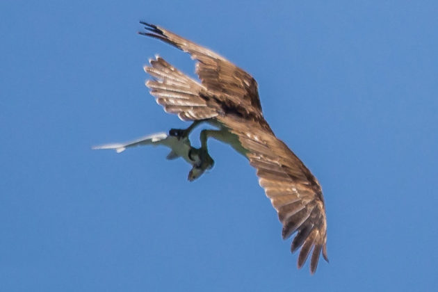 Hawk Caught A Shark With Fish In Its Mouth