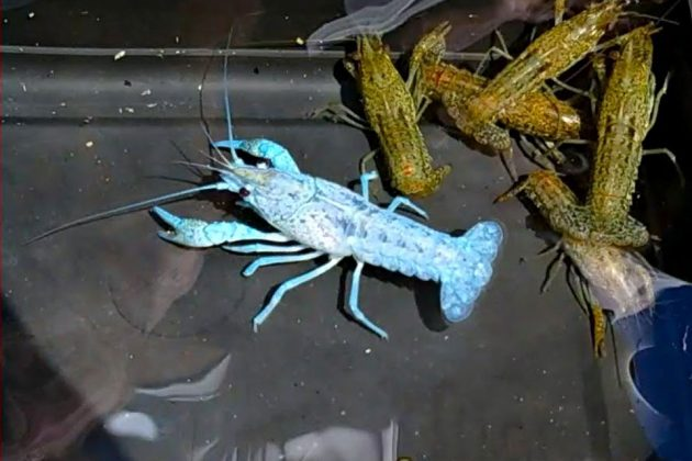Blue Crayfish Caught by Catch Em All Fishing