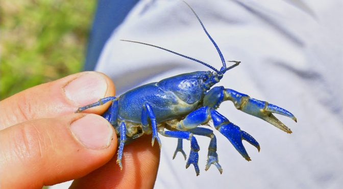 This Super Rare Crayfish Is Blue, Burrows And Might Be A New Species