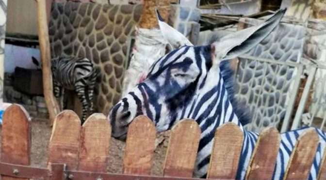 A Zoo In Egypt Turned A Donkey Into A Zebra With Painted Stripes