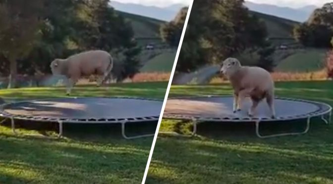 A New Hop: Trampoline Bouncing Sheep Will Put A Smile On Your Face