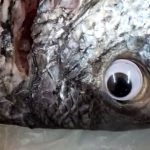 Kuwaiti Fish Store Put Googly Eyes On Fish To Make It Look 'Fresh'