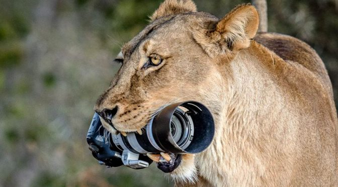 Lioness Steals Photographer's DSLR