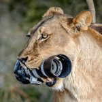 Lioness Steals Photographer's DSLR, Lets Cubs Played With It