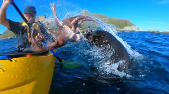 Kayaker Gets Slap On The Face By A Seal… With An Octopus