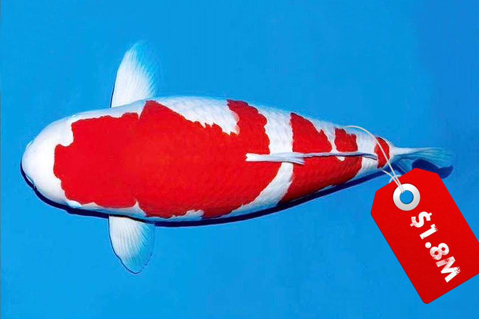 Someone Bought A Japanese Koi For A Mind Blowing 1 8m Shouts
