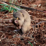In Africa, Giant Rats Are Being Trained To Sniff Out Land Mines