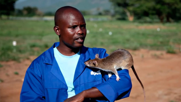 Land Mine-sniffing Giant Rats in Africa