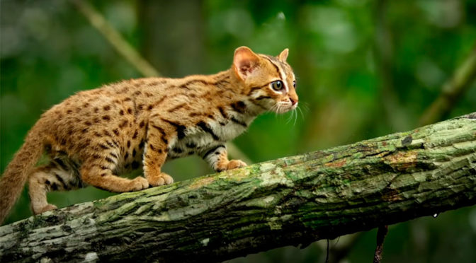 The World's Smallest Big Cat