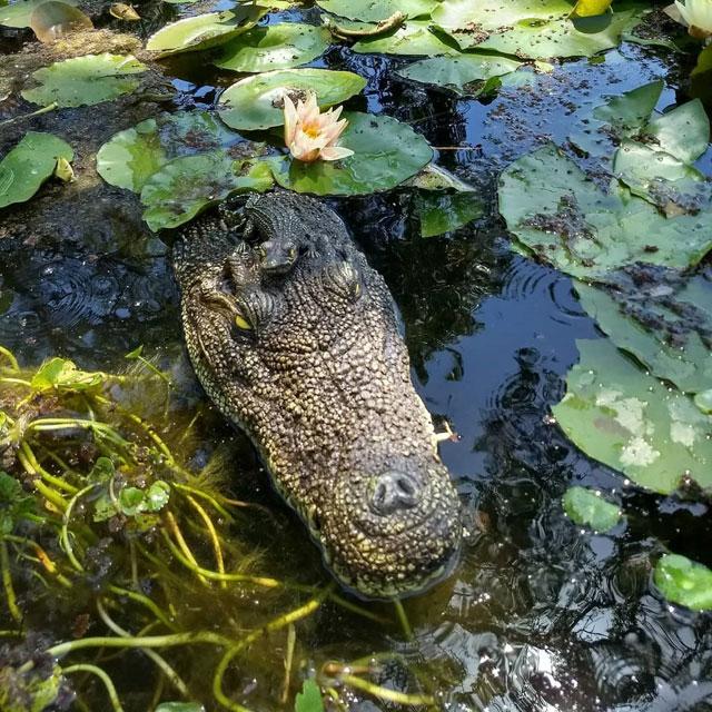 20.5-inch Crocodile Head Decoy For Pool