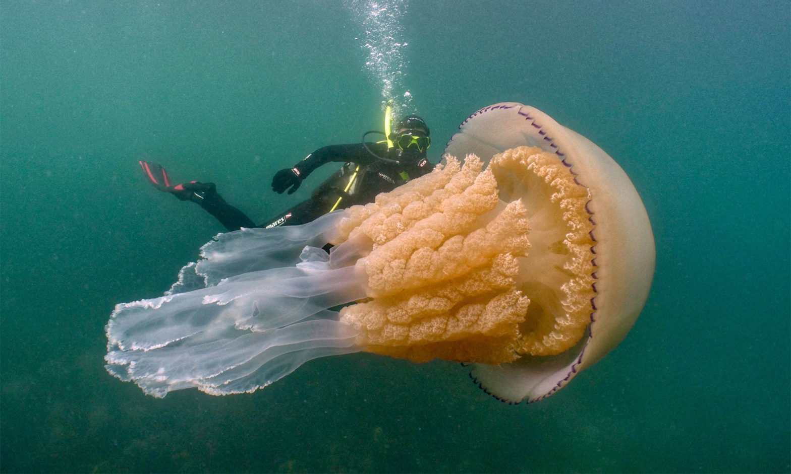 Giant-size Jellyfish Discovered In England