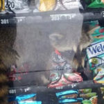 In Florida, A Raccoon's Preference For Unopened Snacks Got It Trapped Inside A Vending Machine
