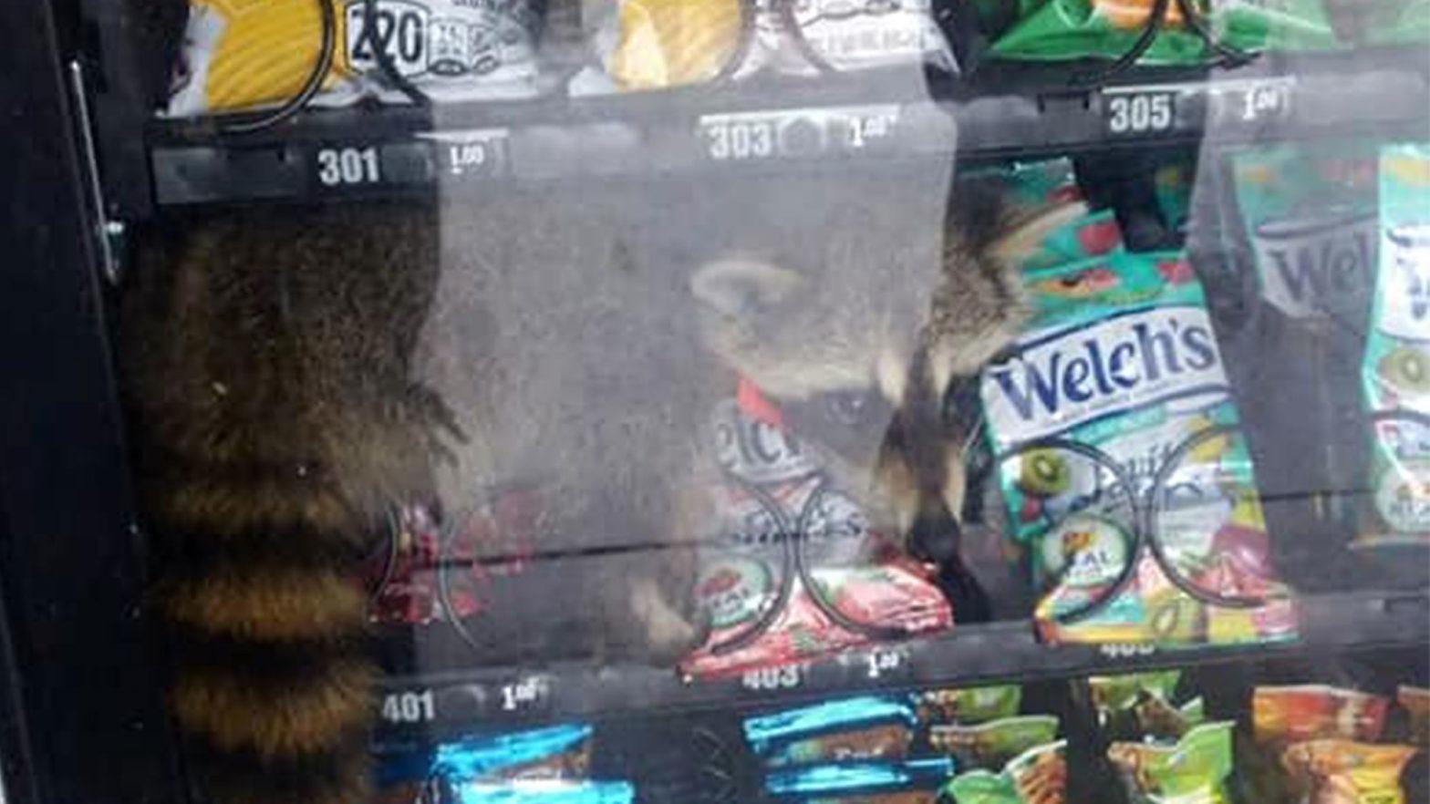 Raccoon Caught Ransacking Vending