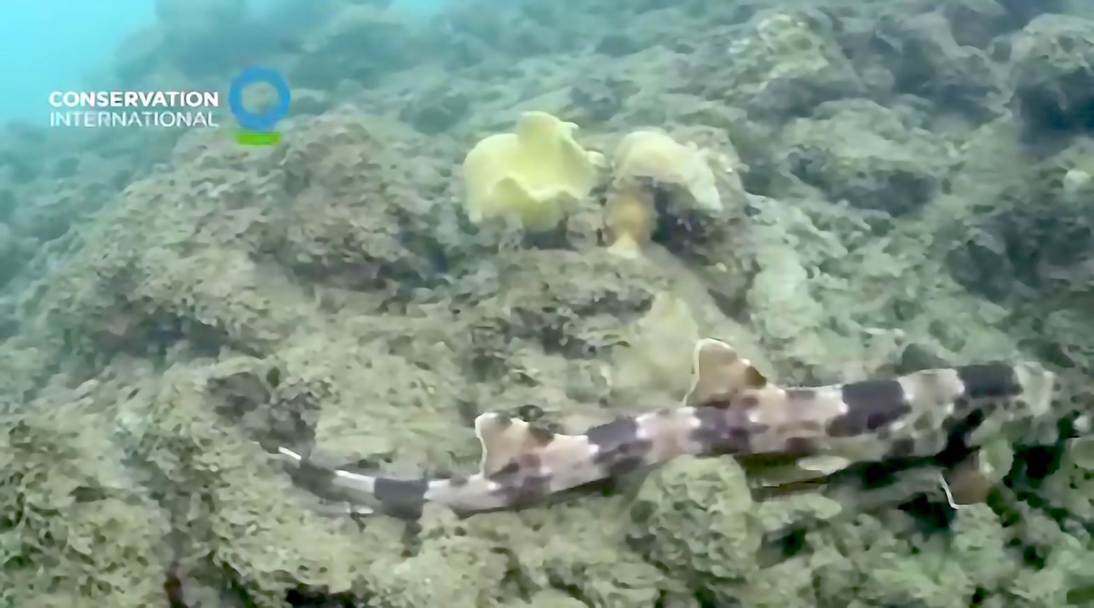 New Species of Walking Shark Found
