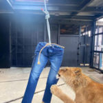 In Japan, You Can Buy A Pair Of Jeans Torn By Actual Lions