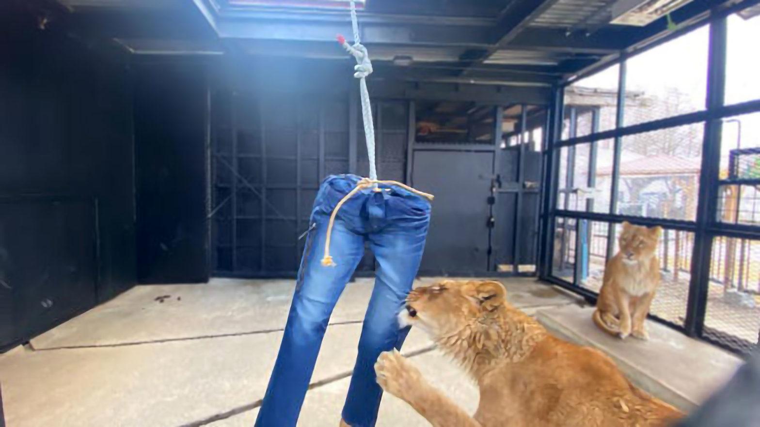 North Safari Sapporo Lion-torn Jeans