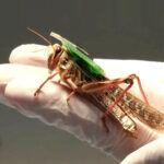 Researchers Made Progress In Bomb Sniffing Locusts In A Navy-backed Research