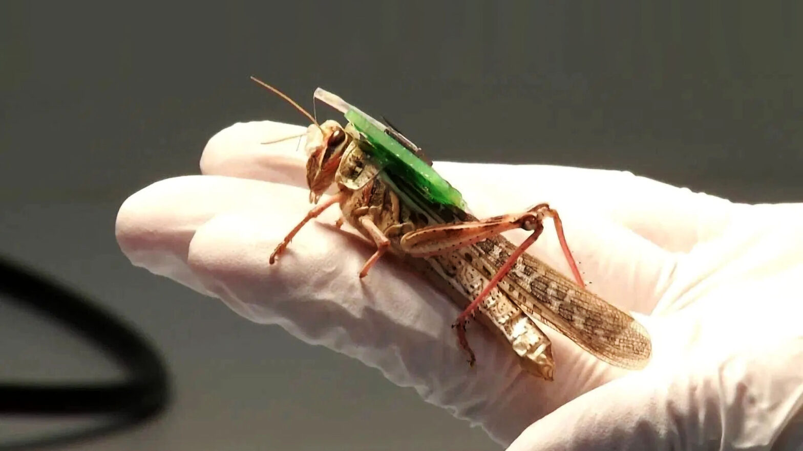 Bomb Sniffing Locusts Washington University in St. Louis