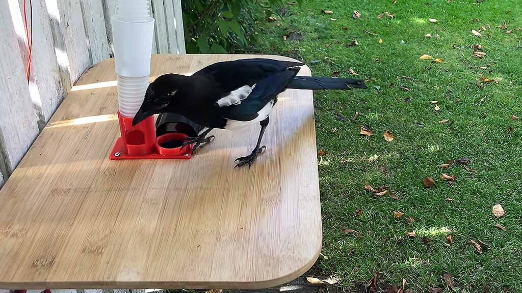 Birdbox Magpie Trades Bottle Cap for Food