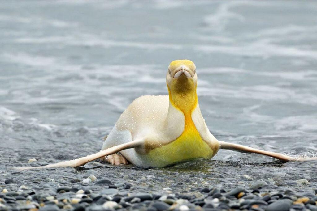 Rare Yellow Penguin on South Georgia Island