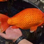Goldfishes Released Into The Wild Go Unchecked, Grew To Gigantic Proportion
