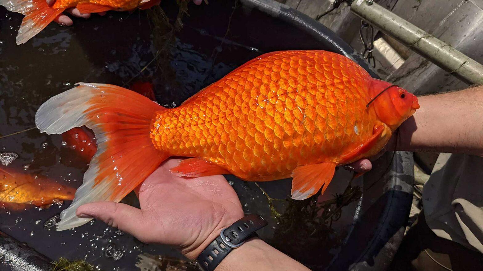 Football Sized Goldfish Minnesota Lakes